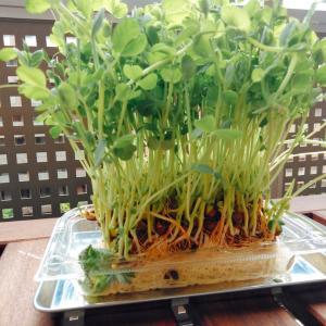 [豆苗栽培中♡] アンチエイジングにも最高のカラフルサラダ