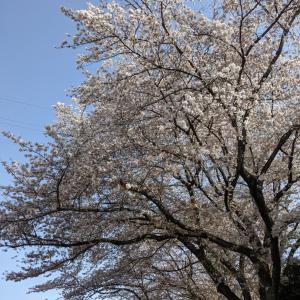 [満開の桜の下でアイス]今更だけどガリガリ君レーズンバターサンド最高