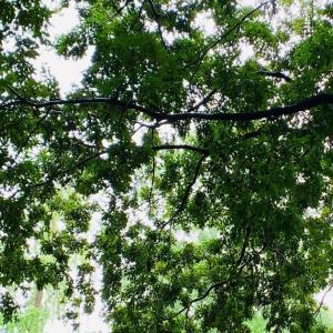 大宮八幡宮で笹の輪くぐり