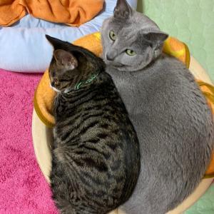 憧れの猫団子