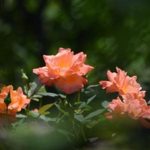 ♪ ダニエル 綺麗な薔薇🌹と可愛い笑顔~(*^_^*) ♪