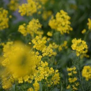 ♪ ダニエル  桜も菜の花も綺麗だね~(^。^)y-.。o○ ♪