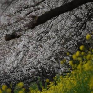 ♪ ダニエル 桜と菜の花のコラボ写真~(#^.^#)  ♪