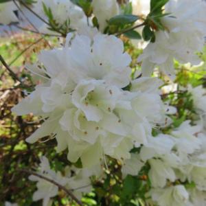 庭の花(皐月)