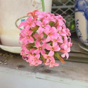 庭の花(カランコエ)