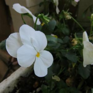 庭の花(鉢植え)