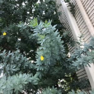 ミモザの葉っぱが黄変⁉︎