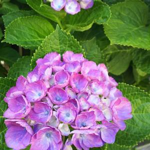 紫陽花 ☆ 绣球花