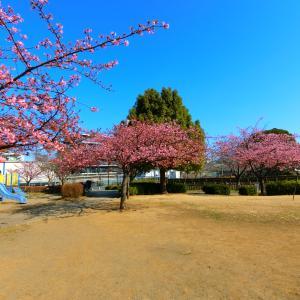 東浦和の井沼方公園の河津桜