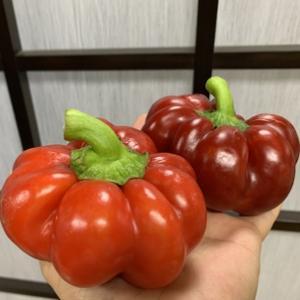 トマト?ピーマン?いえいえ『トマピー』