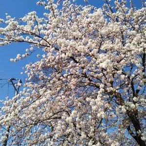今日の桜✿