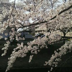 またしても...桜(///ω///)♪