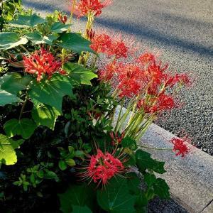 京都の街中で咲く 彼岸花