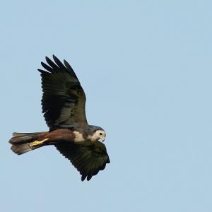今日の一枚はチュウヒの飛翔