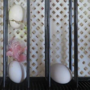 シロハラインコ3羽目の雛が孵りました。