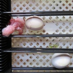 シロハラインコ4羽目が孵りました。