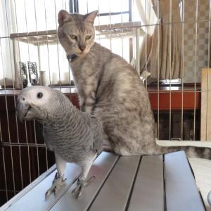 ヨウムと猫の相性は!