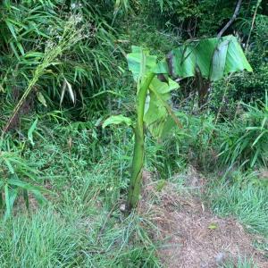 バナナの木見回り