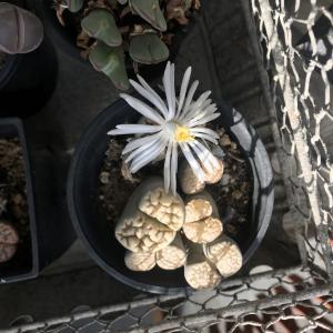 マミラリア白星とリトープス・コノフィツムのお花♪