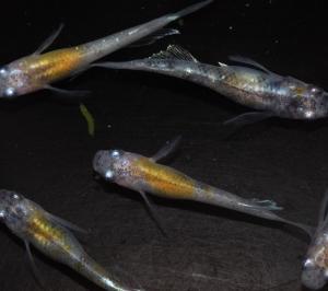 花魁ヒレ長の若魚