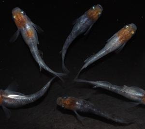 あけぼのラメの若魚