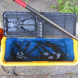 ★昨日の午後の午後の塩原鮎釣行 17~18㎝前後主体に好漁でした。只今各種仕込み中🎵