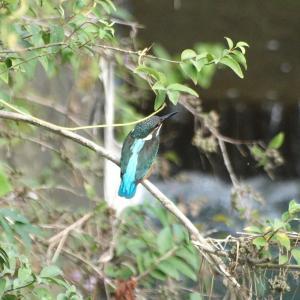 鶴見川のカワセミ