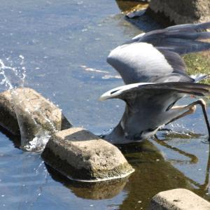 鶴見川のアオサギ捕食