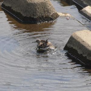 鶴見川のイソシギ水浴び