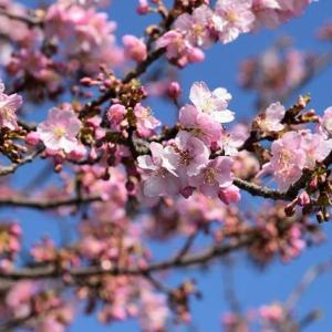 初めて桶川の河津桜へ