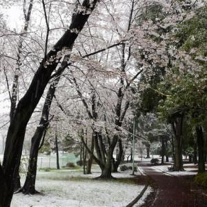 なごり雪は桜色に