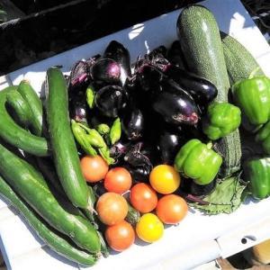 夏野菜づくり第一陣、ほぼ出揃う