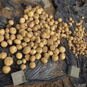 ジャガイモ収穫、次は雨を期待