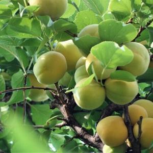今年の梅の実は豊作
