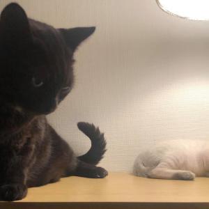 先住猫が、男子なのに、母性を発動!子猫の面倒を見始めました!