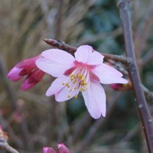 乙女桜咲いて・・・