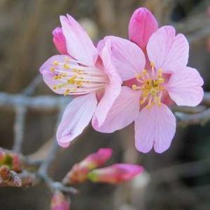 乙女桜とお雛様