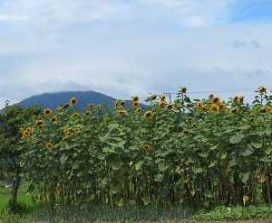 夏の花ヒマワリ