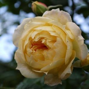 バラの植え替えの助っ人に~&桜が満開