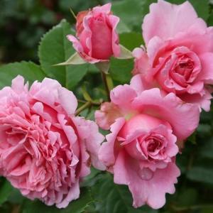 ビアンヴニュ、ハンスゲーネバイン、ファンタンラトゥール かわいいバラ まだ花盛り♪