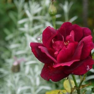 ルイ14世きれいに開花♪&ジュビリーセレブレーショの蕾、残ってた(^_^)v