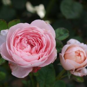 クイーンオブスエーデン、マルクシャガール、オールドブラッシュ・・・2番花が咲き始めました♪