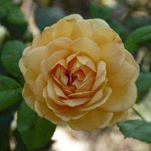 ゴールデンセレブレーション春とは違った花、シックなダイヤモンドグレー ガブリエルが咲き始めた♪