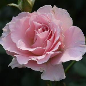 美しいラマリエ☆彡 日本のバラ揃いました( ´ ▽ ` )ノ