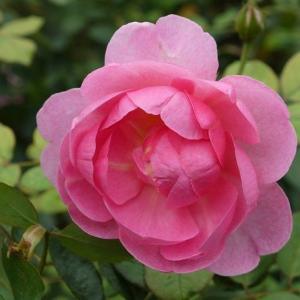 鮮やかピンク、マイルドピンク、ピンクのバラ☆.。.:*・゜