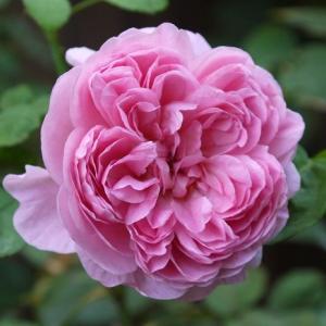 早朝の美しいバラ&鉋削り初体験
