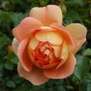 パットオースチンにうっとり、セプタードアイル、バリエガータディボローニャ…咲始めたバラ