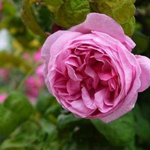 ケンティフォーリアブラータ、サンショウバラ、フェリシテパルマンティエ…マニアック?なバラも好き♪*゜