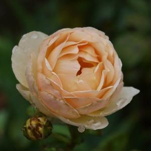 ジュードディオブスキュア コロンと咲きました♪ジュビリーセレブレーションも綺麗に~♪