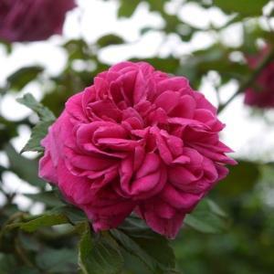 マダムイサークペレール、マダムエルンストガルバ 美しいマダムたち♪&赤いバラで思い出した(^^)
